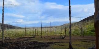 Bosque afectado por la contaminación al este de Norilsk (Rusia)   Foto: Alexander Kirdyanov