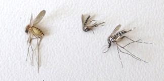 Mosquito común y dos tigres © Mosquito Aler