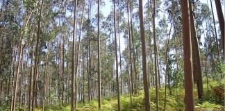 Eucalipto en Galicia