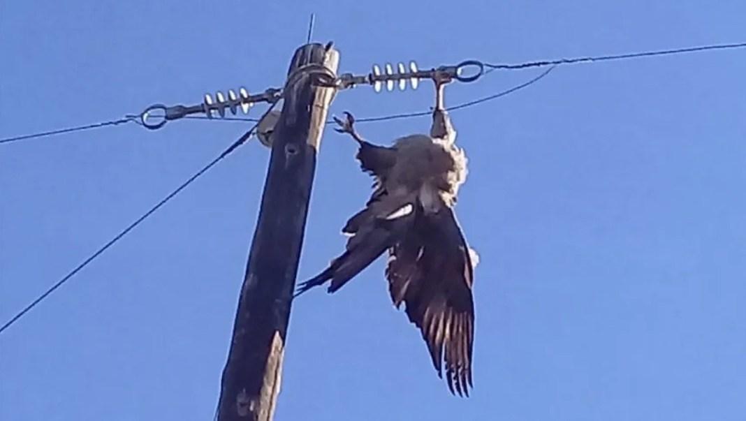 Aguila perdicera electrocutada