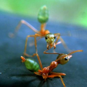 GREEN ANTS - Queensland, Australia
