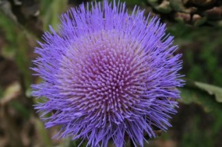 Globe Artichoke flower - Image pennywoodward.com.au