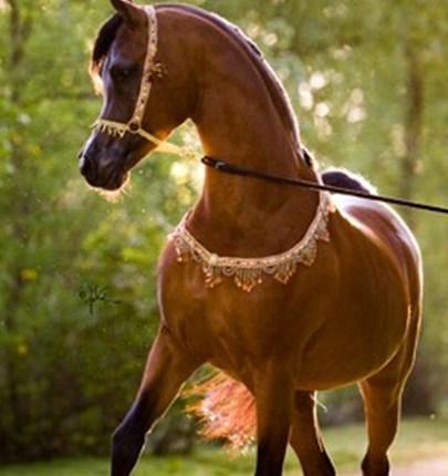 اجمل سلالات الخيول