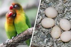كيف اجعل طيور الحب تبيض وتتزاوج