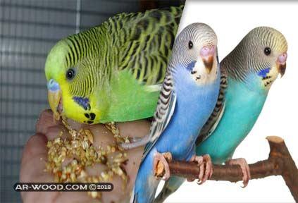 العصافير الاسترالى الفرق بين الذكر والانثى