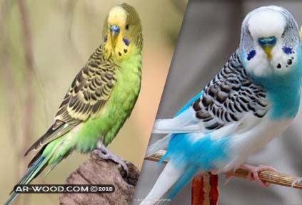 الفرق بين الذكر والانثى فى العصافير الاسترالى بالصور