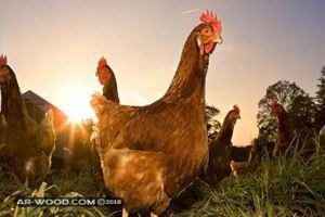 كيف تجعل الدجاجة تبيض بيضتين في اليوم