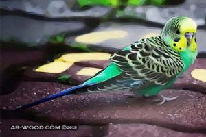 معلومات عن تكاثر العصافير الاسترالى