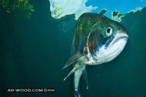 انواع السمك في البحر الاحمر