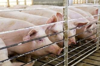 فيروس الخنازير الإفريقية يستنفر علماء صينيين