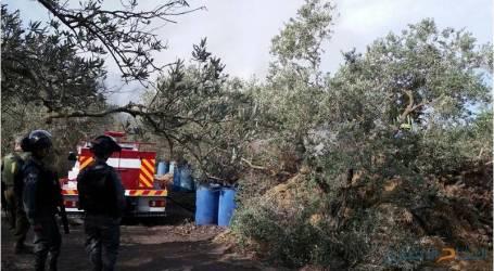 الخارجية الفلسطينية : الاحتلال يشن حرباً على أشجار الزيتون تنفيذاً لمخططات استعمارية