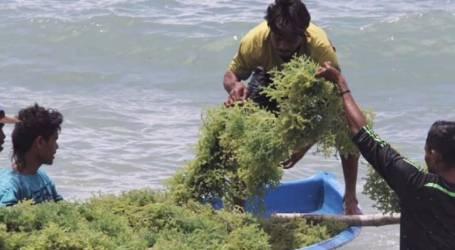 وزارة الثروة السمكية تتطلع إلى إنتاج 10.99 مليون طن من الأعشاب البحرية في عام 2020