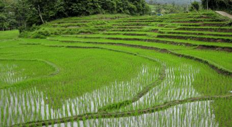 الجنود يعرضون المساعدة في حصاد الأرز على مزارعي بابوا