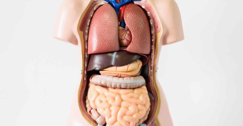 أعضاء جسم الإنسان بالالمانية
