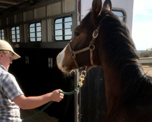 Teaching Weanlings to Load into a Trailer