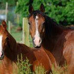Windy Creek Arabians Arabian Sport Horse Alliance