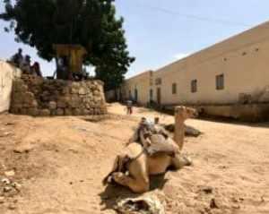 Saudi Arabien: Kamelmarkt