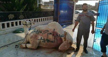 """Photo of بالصور.. ذبح أكثر من 50 جملا على روح """" صدام حسين"""" تزامنا مع عيد الأضحى"""