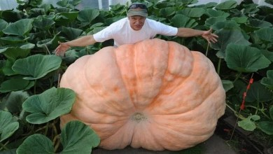 Photo of مهرجان المحاصيل في موسكو يكشف عن يقطينة عملاقة