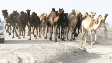 Photo of 1000 دولار تكلفة نقل رأس الإبل من السعودية إلى قطر