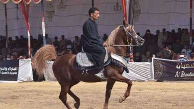 Photo of الخيول المصرية تصل أوروبا