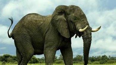 Photo of بهذه الدولة تباع الشعرة من ذيل الفيل بـ 20 دولاراً