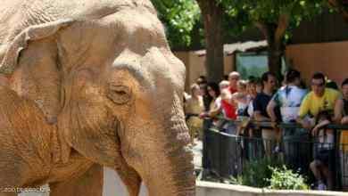 """Photo of بعد 43 عاما من """"العذاب"""".. نفوق الفيل الأكثر حزنا في العالم"""