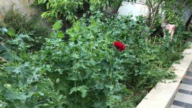 """Photo of فلسطيني يستدعي الشرطة بعد ظهور """"زهور"""" غريبة في حديقة منزله!"""