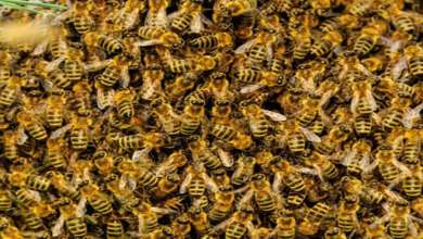 Photo of أسراب كبيرة من النحل تهاجم منطقة في ولاية تكساس الأميركية