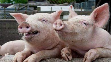 Photo of الصين تعلن اكتشاف حالات إصابة جديدة بحمى الخنازير الأفريقية