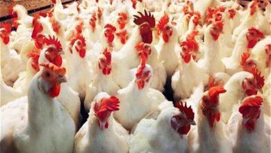 Photo of إندونيسيا تبدأ في تدمير الملايين من بيض الدواجن.. فما السبب؟