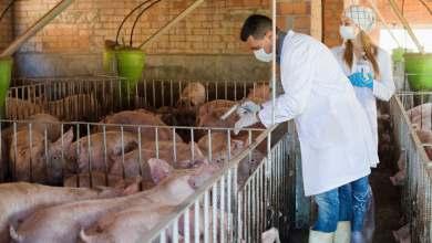 Photo of دراسة صينية تفتح باب الأمل لمحاربة حمى الخنازير الأفريقية