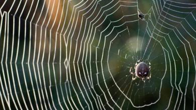 Photo of العلماء يكتشفون سرّ متانة خيوط العنكبوت