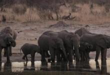 Photo of نفوق 55 فيلًا بسبب الجفاف فى زيمبابوى