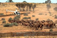 """Photo of في أستراليا.. """"الإبل"""" كبش فداء و""""الصقور"""" تشعل الحرائق"""