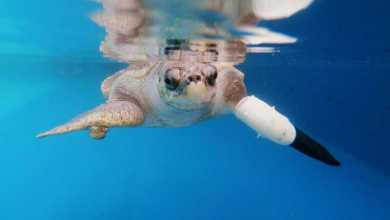 Photo of السلحفاة جودي تعود للسباحة بعد تركيب أول زعنفة صناعية لها