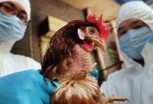 Photo of أنفلونزا الطيور تعاود الظهور مجددًا في التشيك