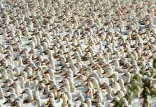 "Photo of الصين تُحرك ""جيش البط"" لإنقاذ باكستان من اجتياح الجراد"