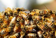 Photo of النحل الأفريقي يحاصر شرطة ولاية كاليفورنيا (فيديو)