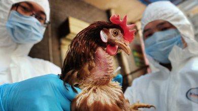 Photo of تسجيل أول إصابة بإنفلونزا الطيور شديدة العدوى بالسعودية
