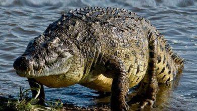 Photo of تمساح بلا أسنان يُغرِق شابة إندونيسية ويعجز عن أكلها