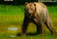 صورة مفترسات الكوكب : الدب الملك