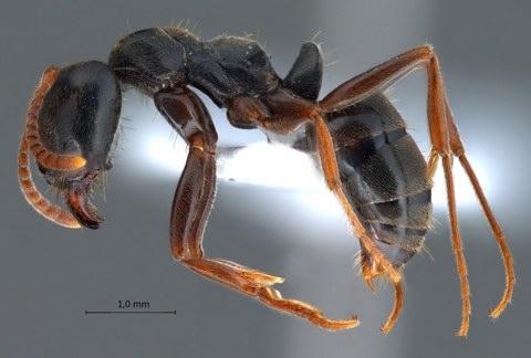 سم نملة السمسوم مثل هذه (الصورة) قد يكون بديلاً رخيص الثمن في المستقبل للعقاقير المضادة للالتهابات