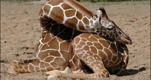 زرافة نائمة - sleeping giraffe