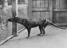 حيوانات مجهولة : حيوان الثيلسين