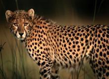أنا وحش : الفهد الصيّاد