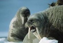 صورة عمالقة القطب وجهاً لوجه