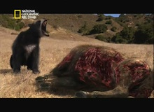 الدب العملاق قصير الوجه (الأركتدس سيمس)
