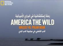 البرية الأمريكية - الدب القطبي في مواجهة الدب البني