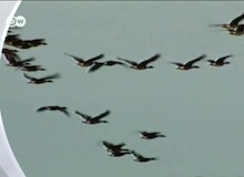 مقتطف : لماذا يطير الإوزّ بشكل حرف V ؟